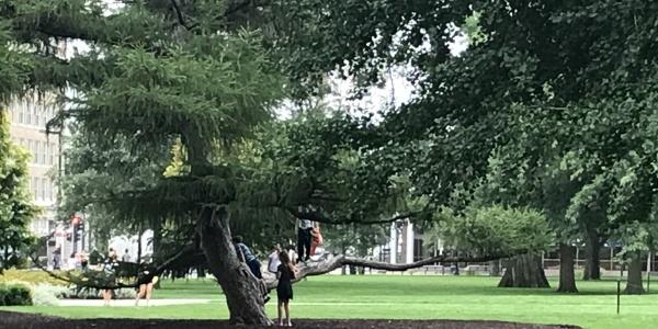 European larch tree on the Pentacrest