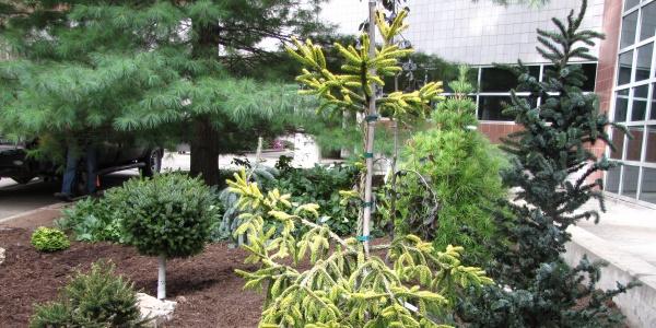 EMRB conifers