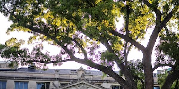 State Champion Black Walnut tree located on the Pentacrest outside MacBride Hall