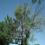 Canopy die back due to emerald ash borer infestation.
