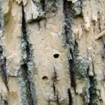 D-shaped exit holes left by the larvae of the emerald ash borer.