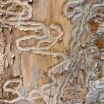 Tunneling on the inside of the bark of an ash tree made by the emerald ash borer larvae. This boring by the larvae disrupt the tree's ability to transport water and nutrients causing the tree to die.